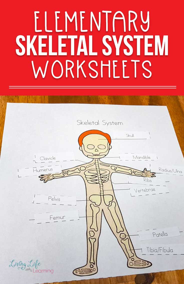 The Skeletal System Worksheet Skeletal System Worksheets for Kids