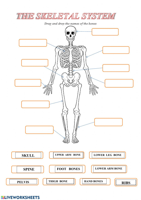 The Skeletal System Worksheet Skeleton Interactive Worksheet