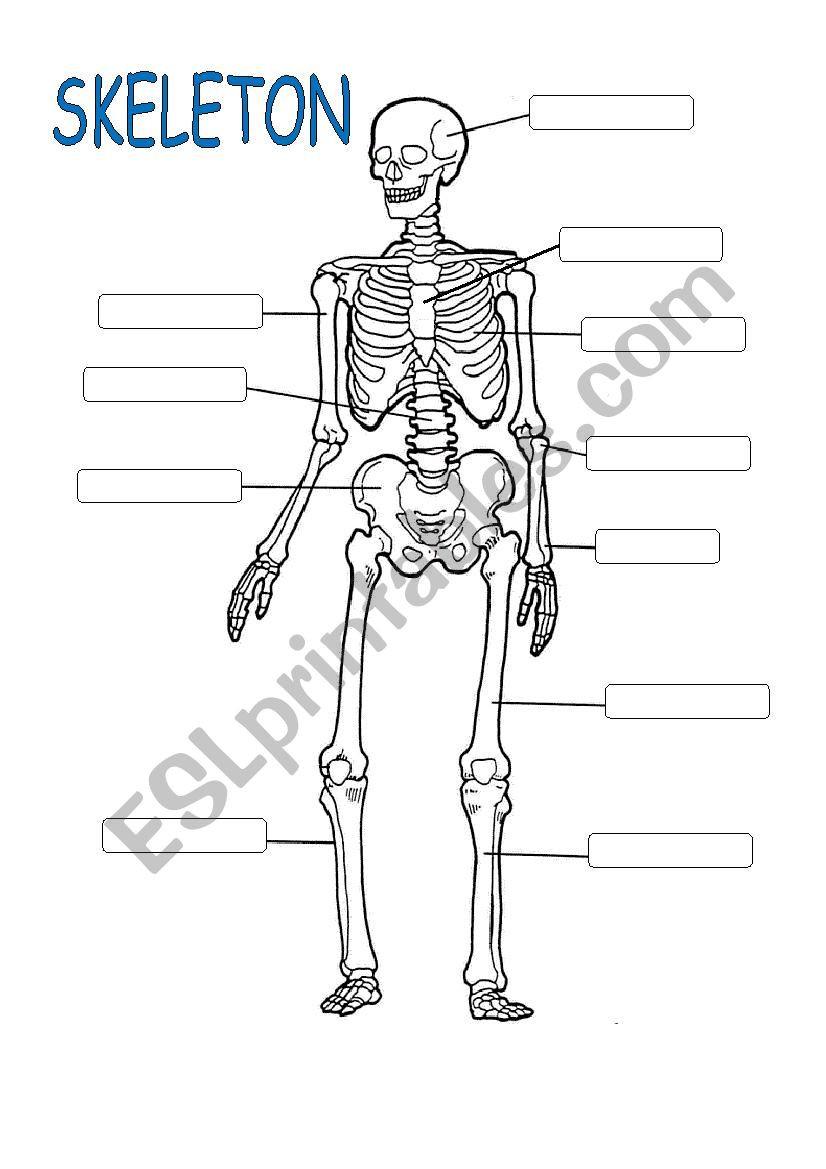 The Skeletal System Worksheet Skeleton System Esl Worksheet by Ealcahud
