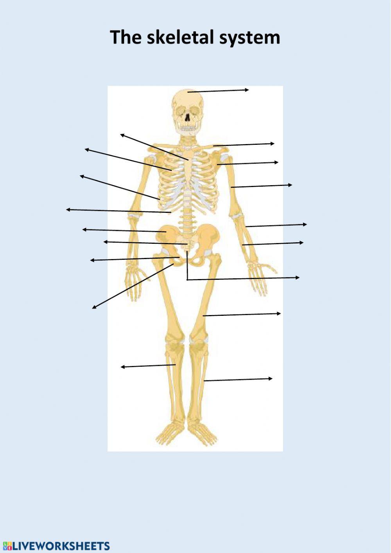 The Skeletal System Worksheet the Skeletal System Interactive Worksheet
